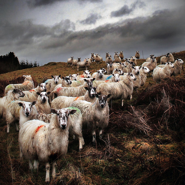 staring_sheep___road_to_ayr_by_coigach-d1ts2rx