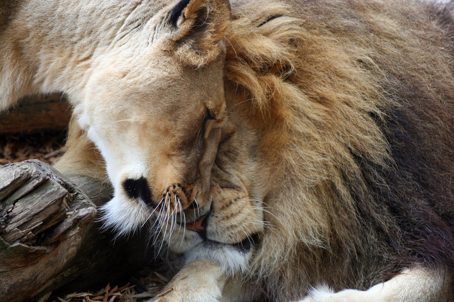 Lion_and_Lioness_by_rosswillett
