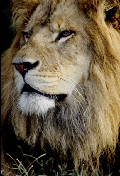 Lion_by_Art_Photo
